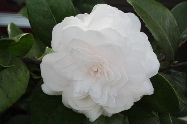 snow white-size1